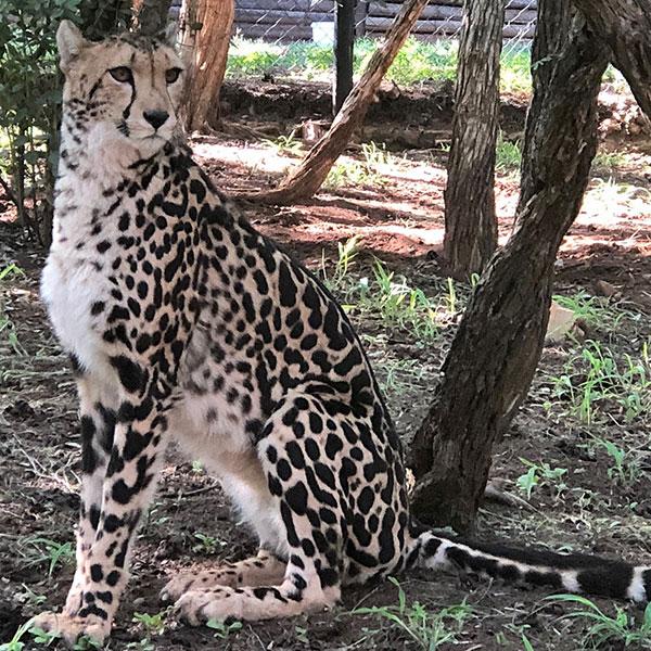 king-cheetah-at-de-wildt-cheetah-research-centre