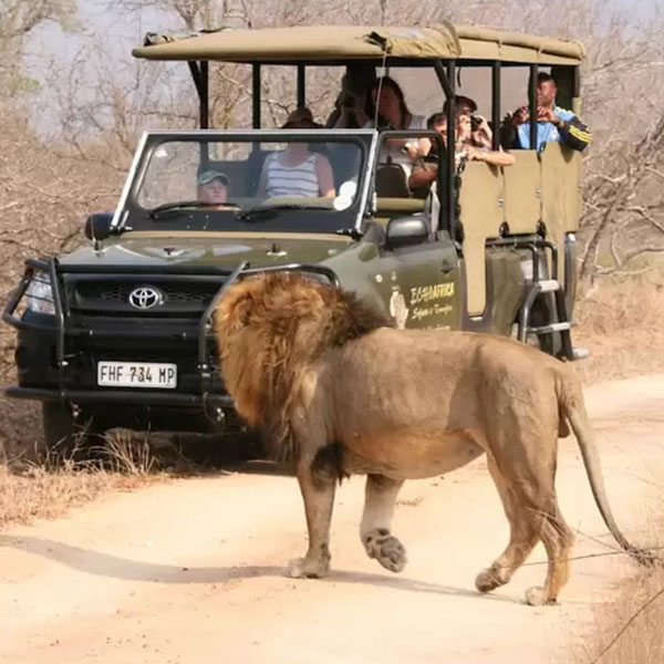 kruger national park lion tour steward travel transfers